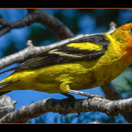 Wester-Tanager