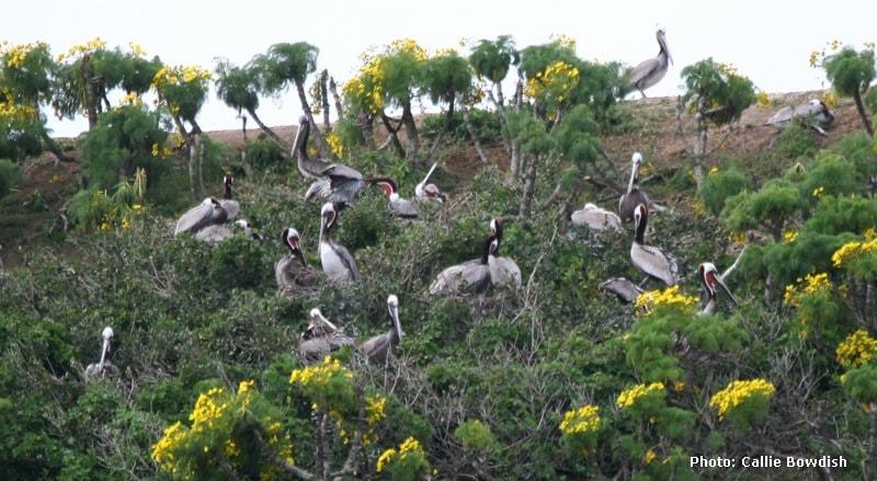 Anacapa-Pelicans.jpg