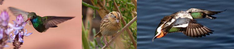 CBC bird Collage