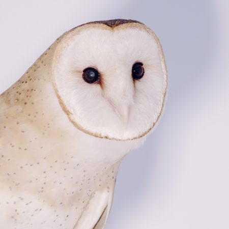 photo of Athena the Barn Owl