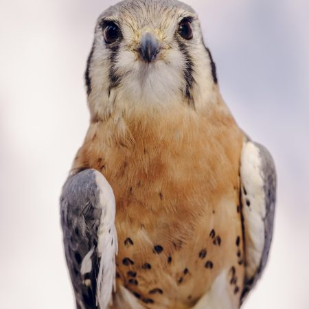 photo of Kanati the American Kestrel