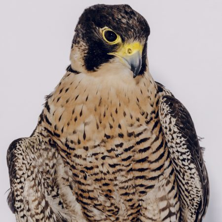 photo of Kisa the Peregrine Falcon