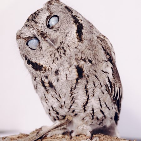 photo of Puku the Western Screech-Owl