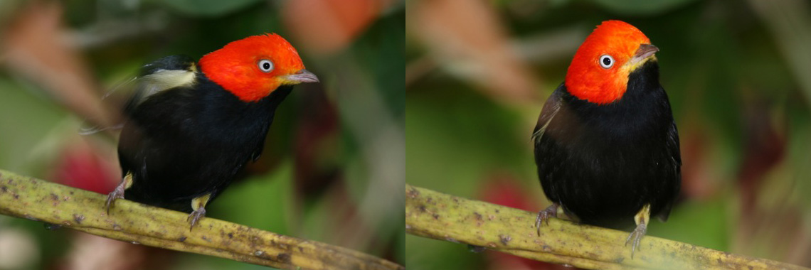 Satie-and-Jeff-Red-Capped-Manakin-Banner.jpg