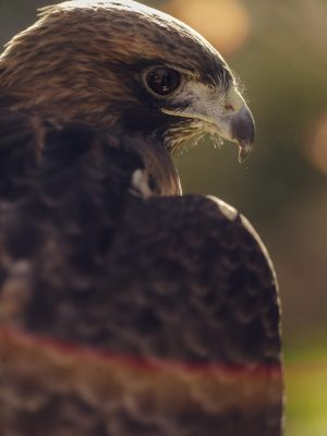 photo of Ivan the Red-tailed Hawk