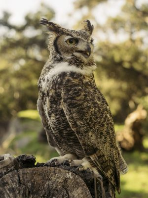 photo of Max the Great-Horned Owl