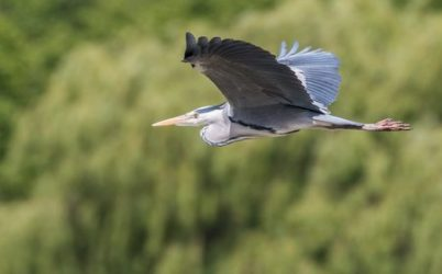 great-blue-heron-flying-